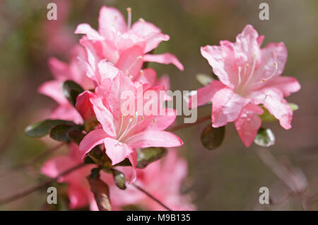 Rhododendron 'Pink pearl' - Azalea - April - Stock Image