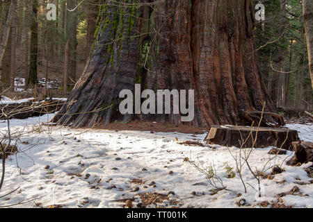 Base of the trunk of a giant tree, Sequoia sempervirens, at Calaveras Big Trees State Park, in the winter with snow-covered ground - Stock Image