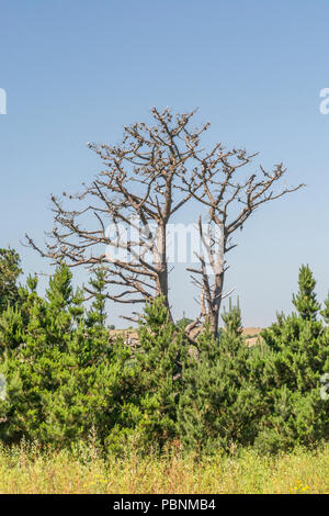 Skeleton of dead Monterey Pine [Pinus radiatia] set against skyline. In California, where it is a native, it is an endangered species hit by disease. - Stock Image