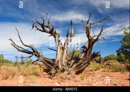 Dead juniper tree in the arid environment of  Dead Horse Point State Park, Utah, USA. - Stock Image