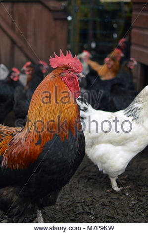 Closeup of cockerel/ rooster in coop with hens in the background. Chickens on a farm. - Stock Image