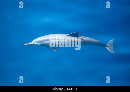 Spinner Dolphin (Stenella longirostris) about to surface in the glassy calm sea of Indonesia - Stock Image