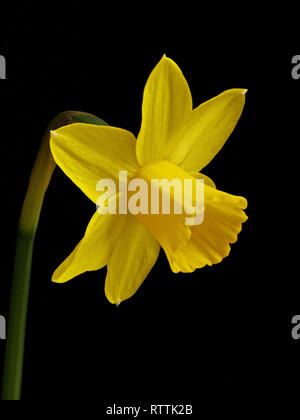 Focus stacked closeup of a single miniature bright yellow daffodil flower (Narcissus Tete a Tete) isolated against black background. - Stock Image