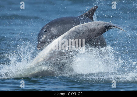 Bottlenose dolphins leaping in the Moray Firth - Stock Image