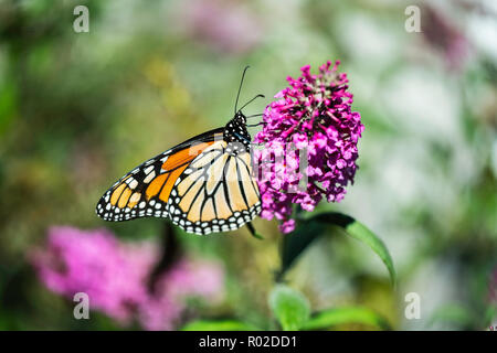 Monarch butterfly, Danaus plexippus, feeding on Butterfly bush flowers, Buddleja or Buddleie during southern migration in October.Wichita, Kansas, USA - Stock Image