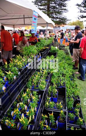 Potted chilli plants for sale. Araluen Fremantle Chilli Festival 2010, Fremantle, Western Australia - Stock Image