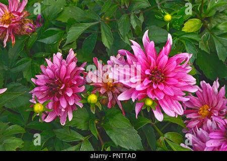 Close up of Dahlia 'Art Nouveau' in a flower border - Stock Image