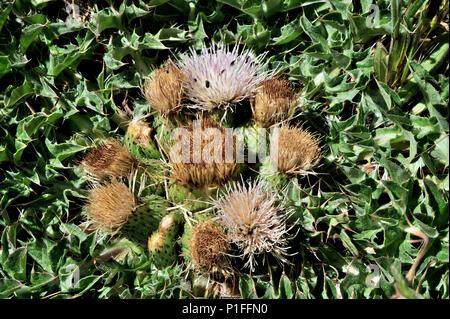 Bird's nest thistle, Cirsium scariosum, Cuyamaca Rancho State Park, CA 080518_30363 - Stock Image