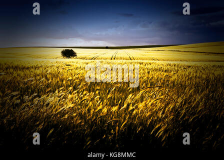 Wheat fields, Apulia, Italy - Stock Image