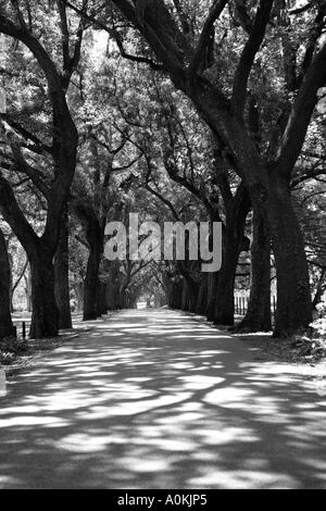 Live oak lined driveway near Savannah Georgia USA. - Stock Image