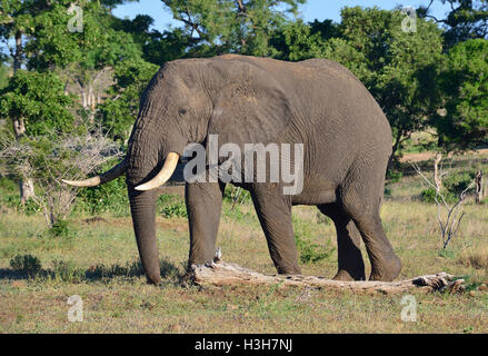 Elephant in the typical greenery suitable for elephant to feed on Near Olifants, central  Kruger Park South Africa - Stock Image