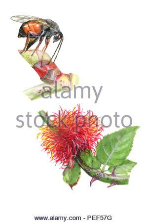 rosengall waspe diplolepis rosae and dormouse - Stock Image