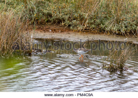 A Redshank wading in a salt marsh. - Stock Image