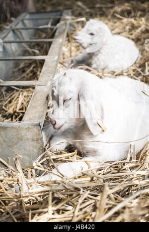 Two white kids / baby goats lying down and resting in the sun on straw next to a metal trough in a barn on a farm, - Stock Image