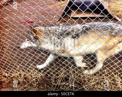 Wolf behind fence - Stock Image