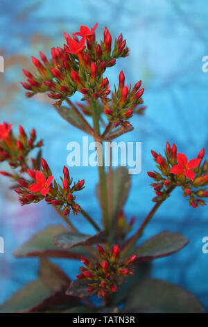 Red autumn flowers - Stock Image
