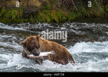 Brown Bear with salmon in its mouth, Brooks river, Katmai National Park, Alaska - Stock Image