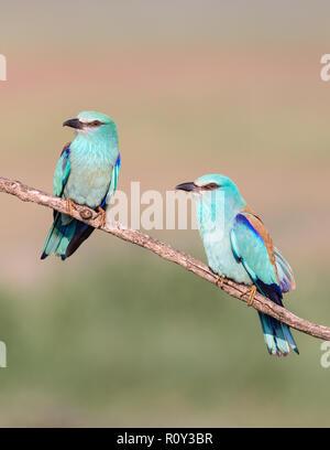 European Roller pair (Coracias garrulus) perching on a branch, Hortobagy National Park, Hungary - Stock Image