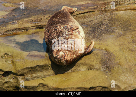Harbor Seal - Stock Image