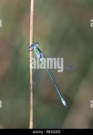 Male Emerald Damselfly clinging to a reed stem - Stock Image