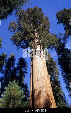 General Sherman tree Giant Sequoia California - Stock Image