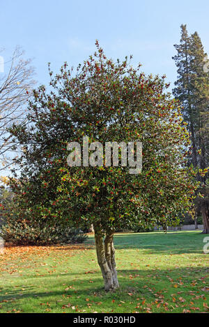 English holly tree llex aquifolium in the fall, Vancouver, BC, Canada - Stock Image