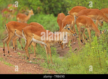 Common Impala (Aepyceros melampus) adult female with heard  Lake Mburo National Park, Uganda               November - Stock Image