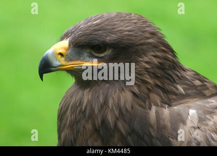 Central Asian Steppe eagle (Aquila nipalensis), closeup of the head. - Stock Image
