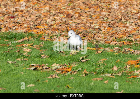 Leeds, UK – 24 October 2018. A juvenile gull feeding on bugs an a beautiful autumn day in Roundhay Park in Leeds. - Stock Image