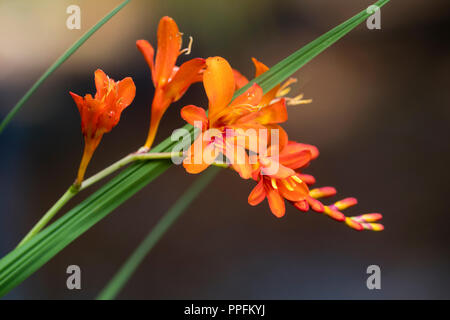 Arching spray of red orange flowers of the hardy, late summer flowering corm, Crocosmia 'Red King' - Stock Image