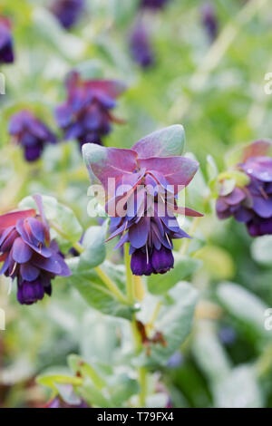 Cerinthe major purpurescens flowers. - Stock Image
