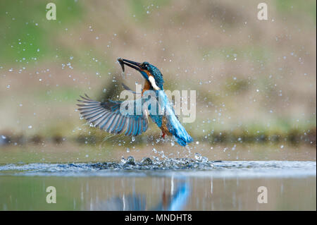 An action shot of a Common Kingfisher (Alcedo atthis) emerging from the water after diving for fish in a small pool in the UK - Stock Image