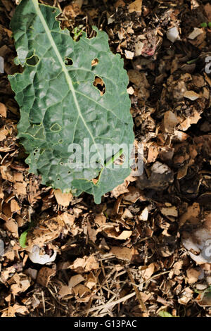 Single kale leaf with green caterpillar and chew holes, damage. - Stock Image