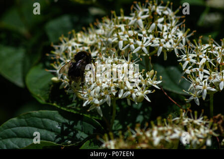 Bumble bee collecting nectar and pollinating a viburnum floweer - Stock Image