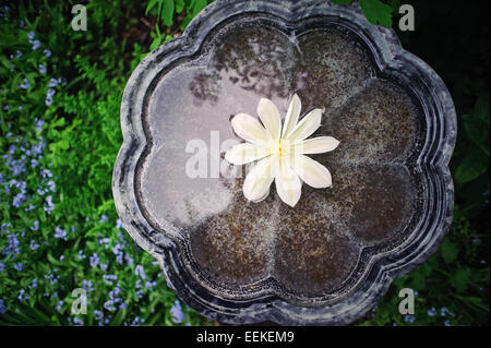 A bird bath with a clematis blossom floating in it. - Stock Image