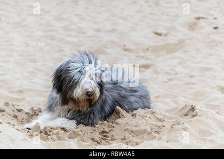 Bournemouth, Dorset, UK. 12th January 2019. Fluffy dog on Bournemouth beach in the winter sun. Credit: Thomas Faull/Alamy Live News - Stock Image