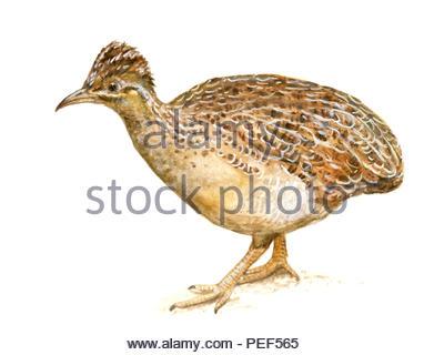 chile-stei chicken nothoprocta perdicaria - Stock Image