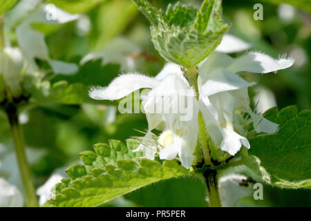 White Deadnettle (lamium album), close up of the ring of flowers around the main stem. - Stock Image