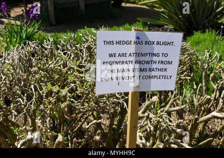 Information sign regarding Box blight or Cylindrocladium Buxicola damage to a box hedge at Castle Ashby Gardens, Northamptonshire, UK - Stock Image