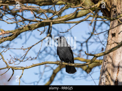 Jackdaw Corvus monedula perching in tree - Stock Image