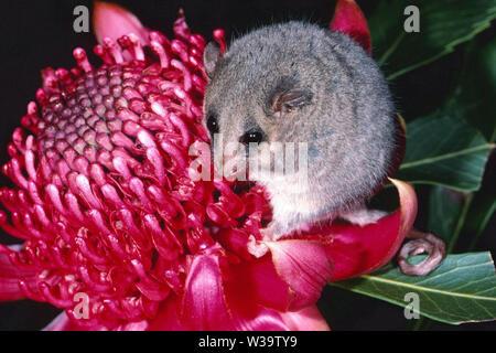 Eastern Pygmy Possum - Stock Image