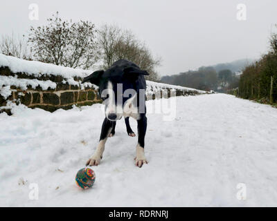 UK Weather: Boarder Collie dog playing ball in the snow on the High Peak Trail, Black Rocks, Bolehill, Derbyshire, Peak District National Park Credit: Doug Blane/Alamy Live News - Stock Image