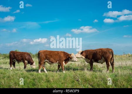 Hereford cows in the Netherlands. - Stock Image