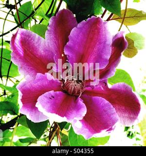 Passionflower - Stock Image
