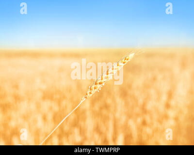 Single yellow ear of rye against ripe golden field and blue sky - Stock Image