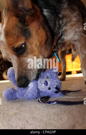 CLOSE UP OF A CROSSBRED CATTLE DOG CHEWING A BLUE TOY TEDDY BEAR BDA - Stock Image