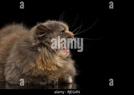 Afraid Munchkin Cat tortoise fur,Lying and Hiss at side Isolated Black background - Stock Image