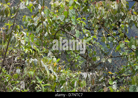 Details of the cloud forest in the Peruvian Andes  at Machu Picchu - Stock Image