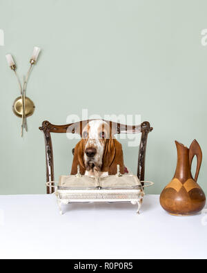 Basset Hound sitting at a table in a restaurant - Stock Image