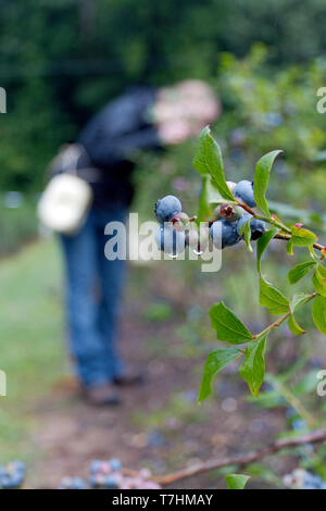 A young woman gathers mountain blueberries wet with dew on an early summer morning - Stock Image